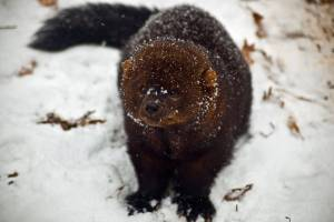 Fisher in the snow. Photo credit: https://www.ForestWander.com