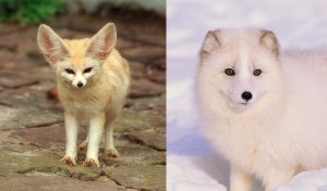 Fennec foxes are the smallest fox species and live in the Saharan desert. Right. Arctic foxes are the larges fox species and are found in byhttps://adlayasanimals.wordpress.com/2013/04/03/fennec-fox-vulpes-zerda/