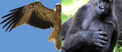 Gorilla arm and bird wing