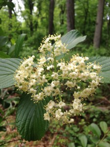 Wanted: For aiding and abetting a known invasive species with pollinator services.