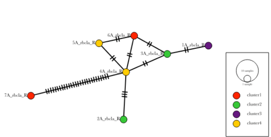 Haplotype Network