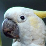 yellow-crested-cockatoo