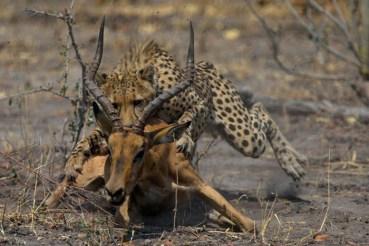 Cheetah (Acinonyx jubatus) hunting. Photo from: http://africageographic.com/blog/cheetah-shenanigans-in-botswana/