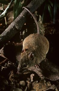 The The Bramble Cay melomys was driven to extinction last year due to climate change.