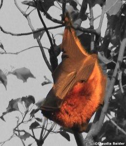 Mauritius flying fox resting during the day