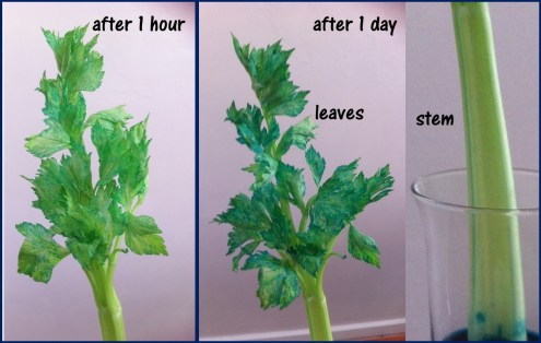 after blue celery