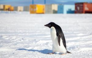 An Adélie penguin (Pygoscelis adeliae) passes near Williams Airfield, which consists of two runways built on ice. Courtesy of National Science Foundation US Antarctic Program Photo Library. Photo Credit: Laura Gerwin. Dec 2014.
