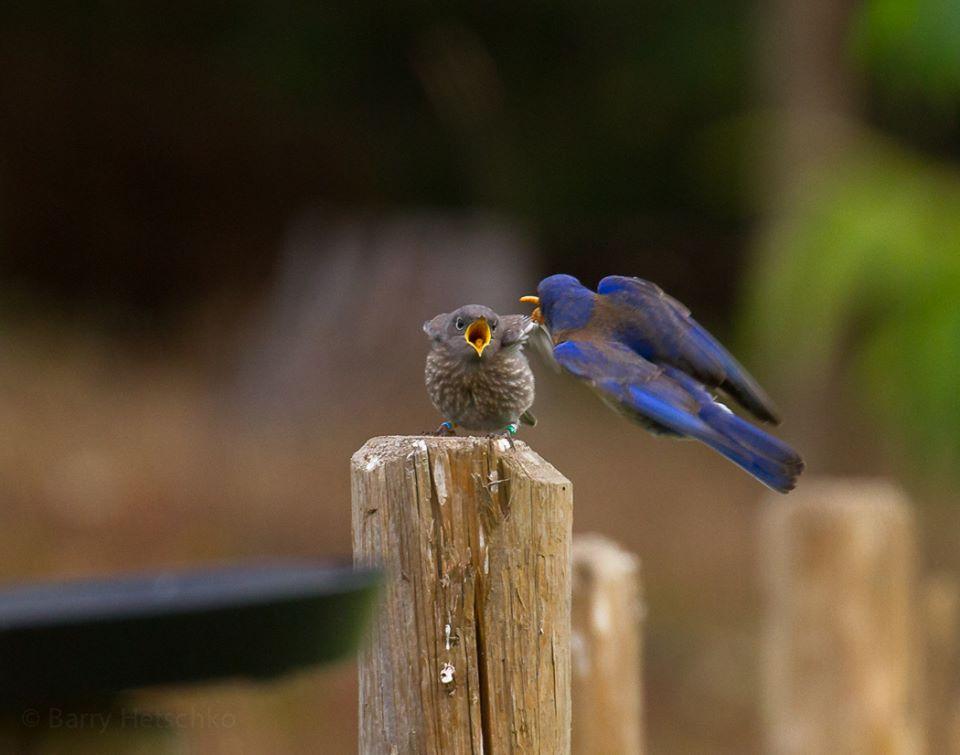 Adult male bluebird feeding fledgling juvenile, photo Barry Hetschko