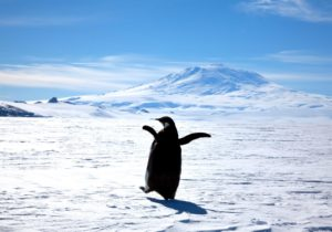 emperor-penguin-erebus