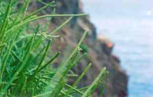 Cynanchum scopulosum, a Mauritian endemic leafless liana