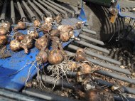 Narcissi bulbs out of the ground