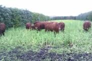 Turnips in the fields