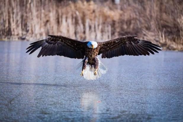 Bald eagle, flight