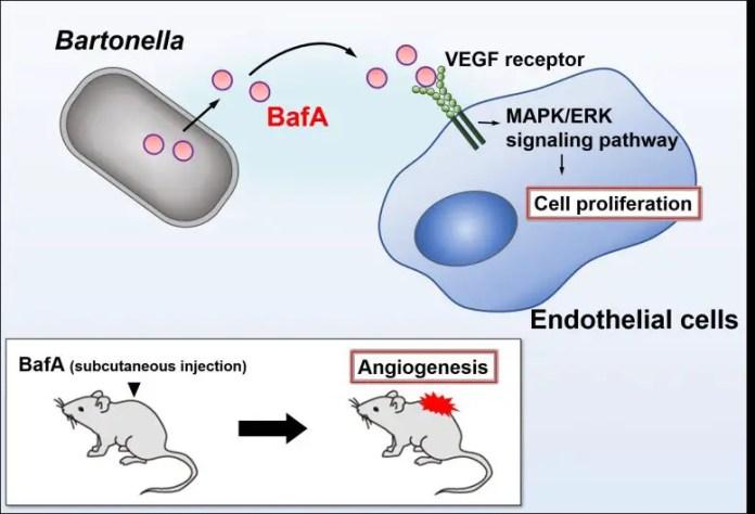 Bartonella Angiogenic Factor A