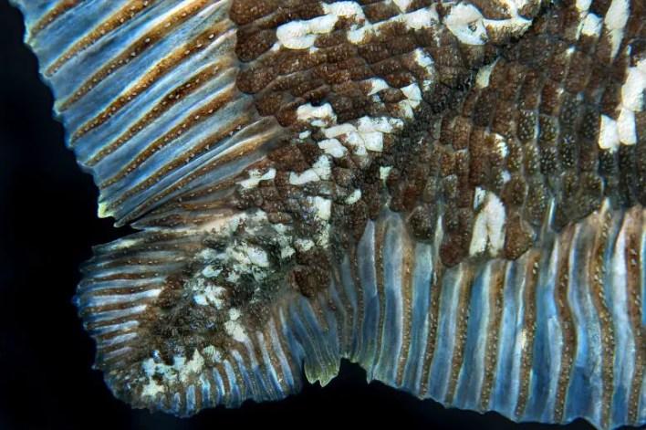 Coelacanth Terazileri