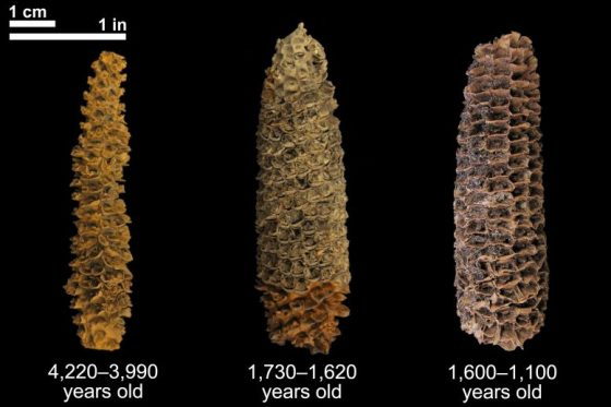 Corn on the cob of different ages
