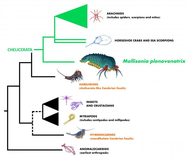 Evolutionary Tree Illustrating the Relationship of Mollisonia to Other Arthropods