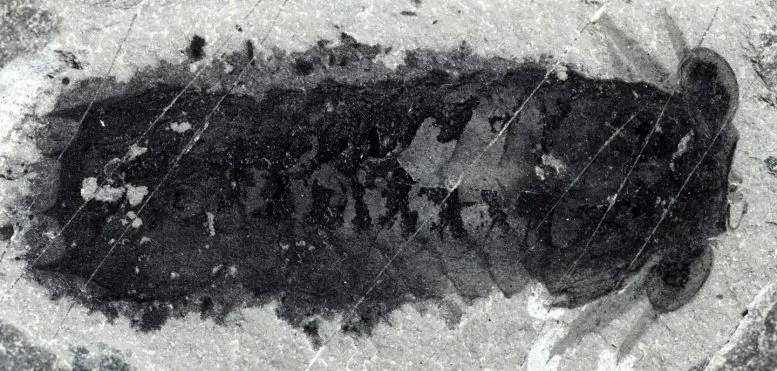Fossil of Mollisonia Plenovenatrix