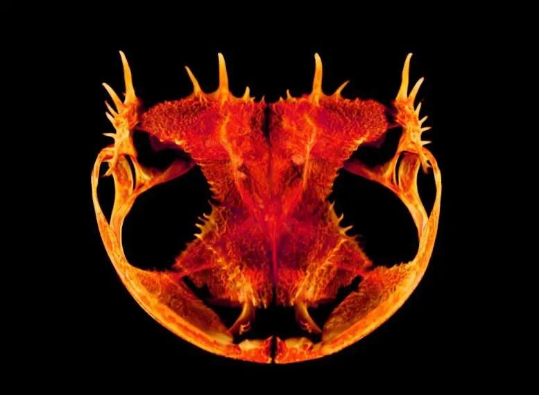 Frog skull bony spines
