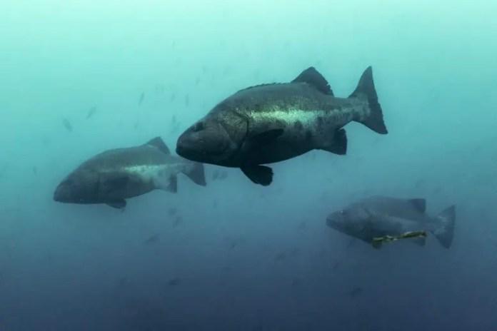 Giant Sea Bass Fish