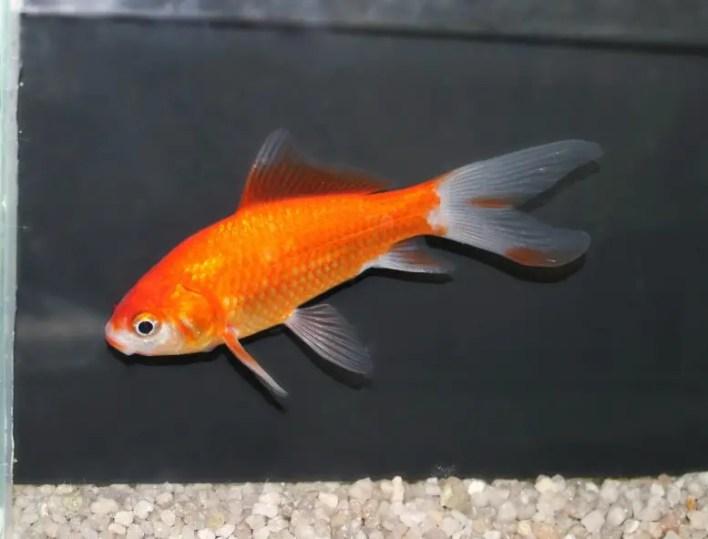 Hayvan Fizyolojisi Laboratuvarında Japon Balığı
