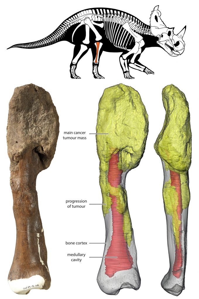 Horned Dinosaur Centrosaurus Apertus Shin Bone With Malignant Bone Cancer