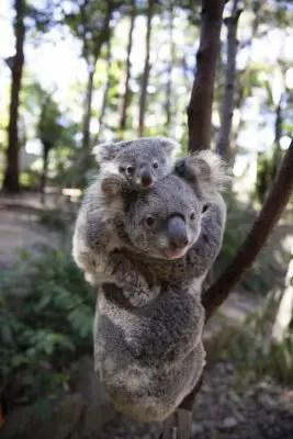 Koala Carrying Baby