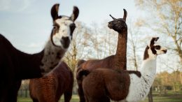 Llama Winter and Friends