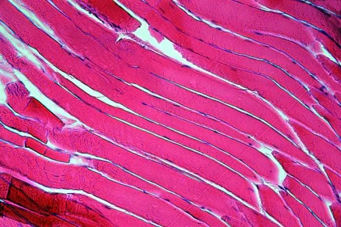Muscle Fiber Cells