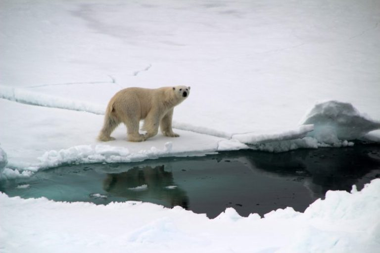 Polar Bear Near Greenland