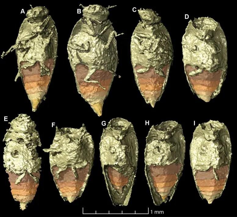Tiny Beetle Triamyxa Coprolithica
