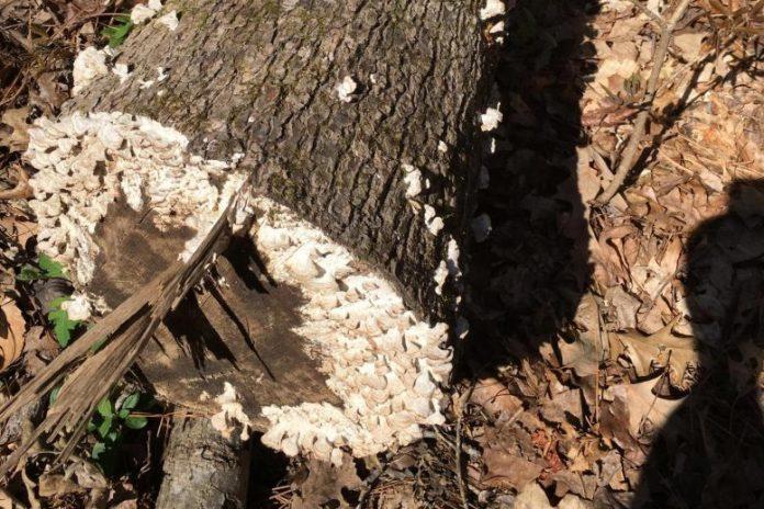 White Rot Fungi