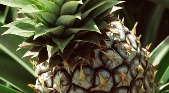 a coconut-flavoured pineapple