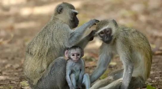 altruism-monkey