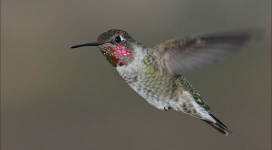 anna-hummingbird-flight