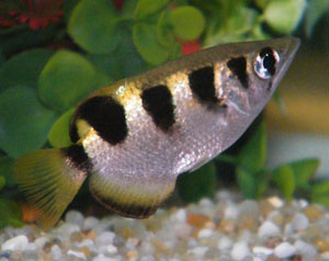 archer-fish