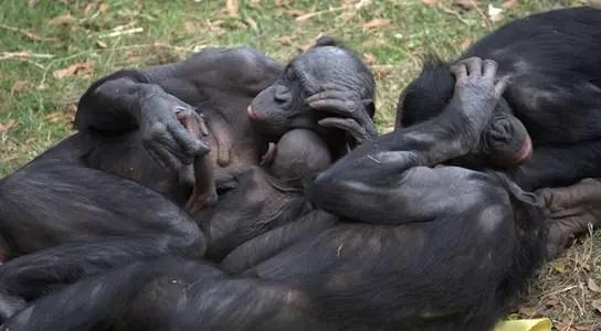 bonobo-apes-hugs