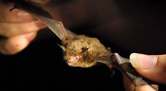 bumblebee-bat