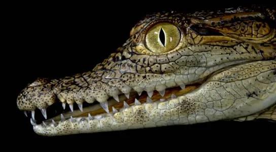 crocodylus-niloticus-lines-face