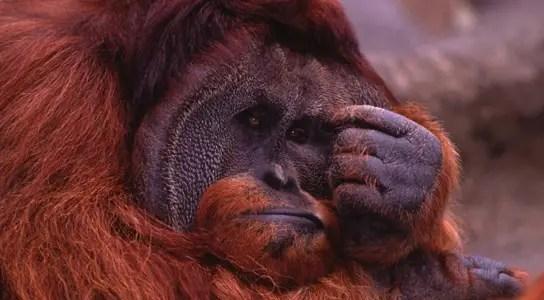 depressed-orangutan
