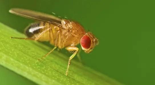 A male fruit fly (Drosophila melanogaster) Credit: Jan Polabinski/iStockphoto