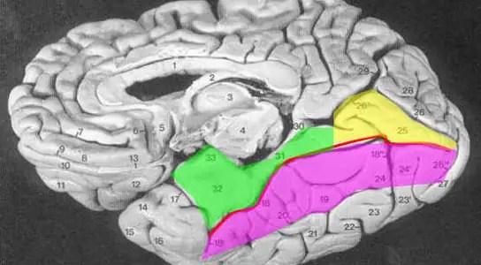 fusiform-gyrus-facial-recognition