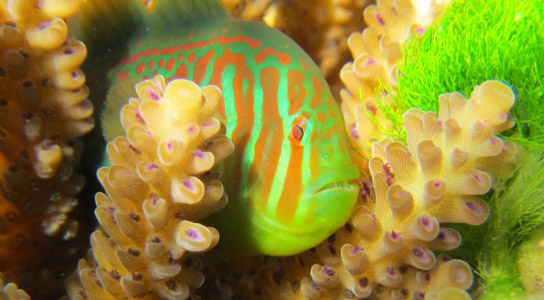 gobiodon-histrio-coral