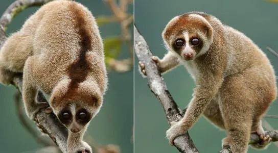 kayan-slow-loris-primate