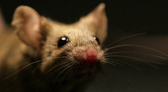 Darcin in Mice Urine Attracts Other Mice Repeatedly