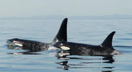 mother-son-orca-survivability