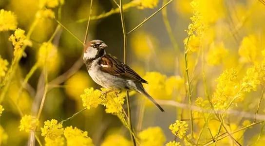 House Sparrow (Passer domesticus). Credit:  Daves BirdingPix