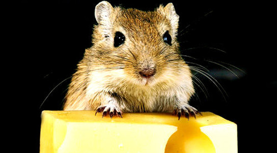 sense-smell-mouse-cheese