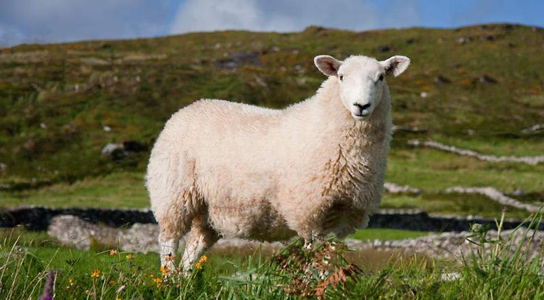 sheep-in-meadow