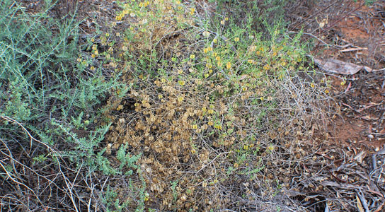south-australian-hopbush